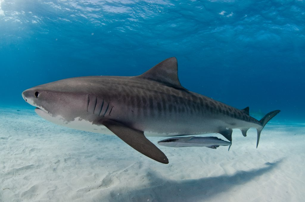 A tiger shark gliding gracefully past accompanied by a remora fish
